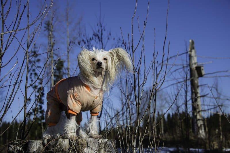 perro crestado chino modelando ropa para perros deportiva