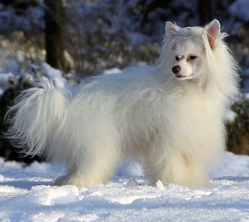 perro crestado chino peludo blanco