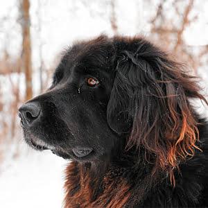 perro terranova contemplando la inmensidad