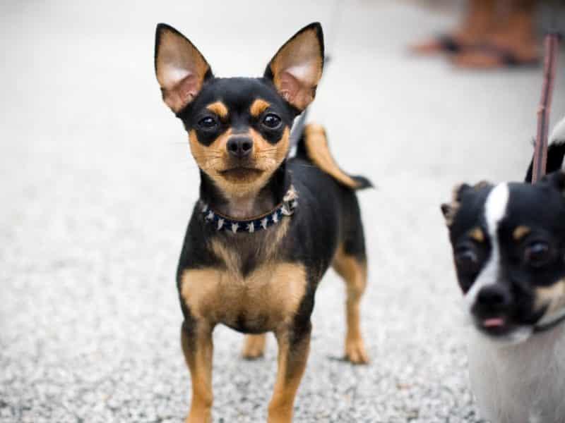 pinscher miniatura paseando junto a un terrier