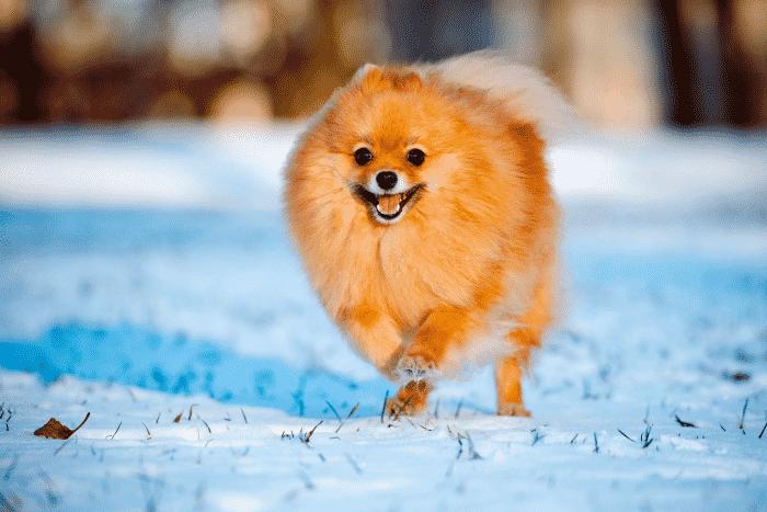 pomerania jugando sobre nieve