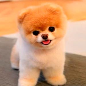Todo sobre el perro Pomerania Toy: Precios, tipos (enano, lulu y boo), carácter, cuidados, alimentación y mucha más información