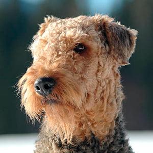 retrato airedale terrier