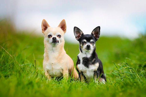 retrato de 2 perros chihuahua