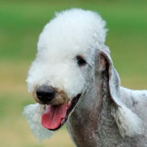 retrato de un bedlington terrier