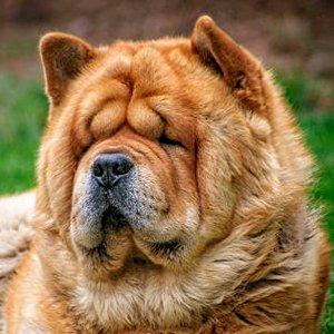 retrato de un chow chow