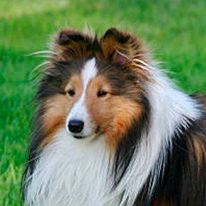 retrato de un pastor de shetland