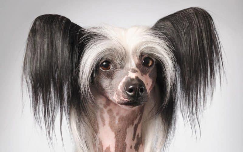 retrato del rostro del perro crestado chino