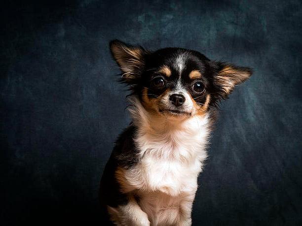 retrato sobre fondo oscuro de un perro chihuahua