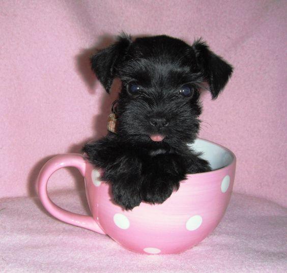 schnauzer miniatura negro en una taza de té