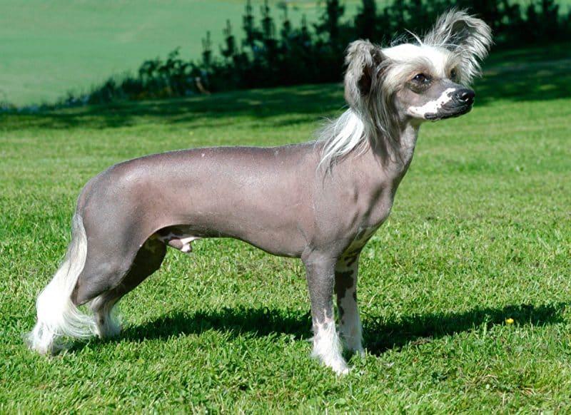 temperamento del perro crestado chino