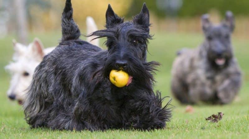 terrier escoces negro jugando