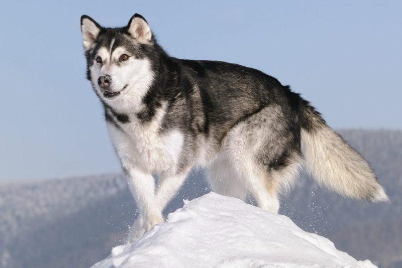 tipos de Alaskan Malamute