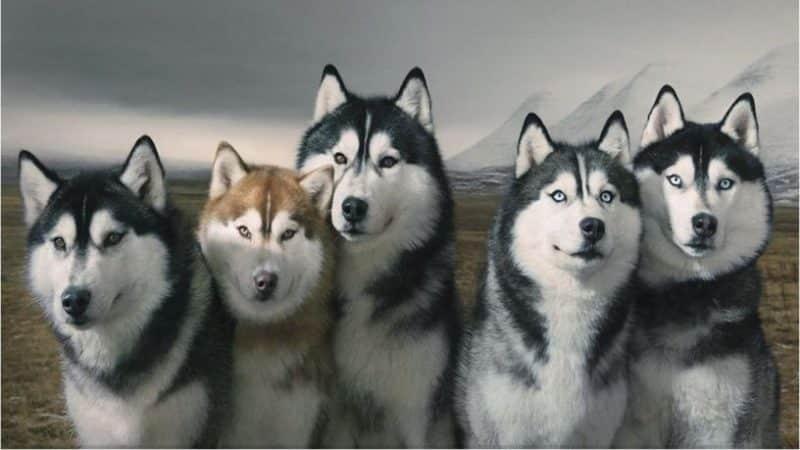 tipos de Husky Siberiano