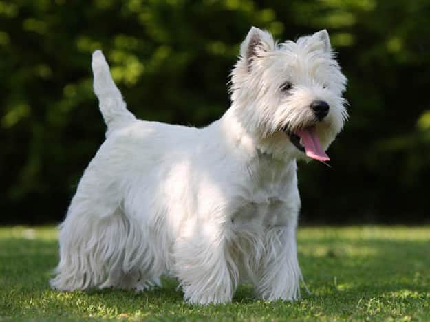 tipos de west highland white terrier