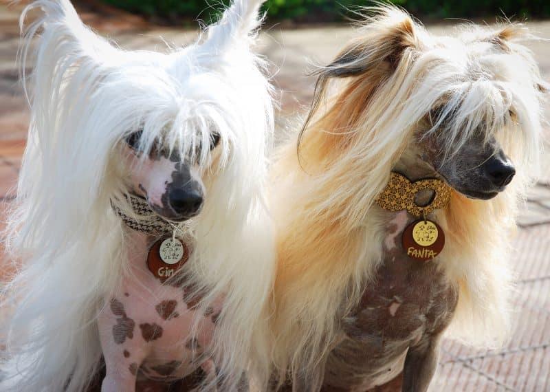 variedad perro crestado chino
