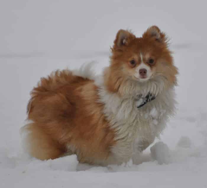vista lateral de un pomerania toy bicolor en la nieve