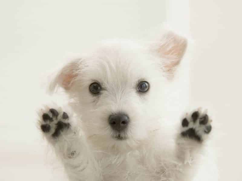 west highland white terrier apoyando sus patas sobre vidrio