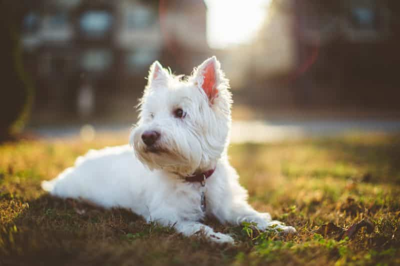 west highland white terrier descansando sobre césped