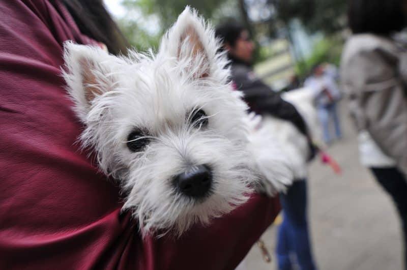 west highland white terrier en brazos de su amo