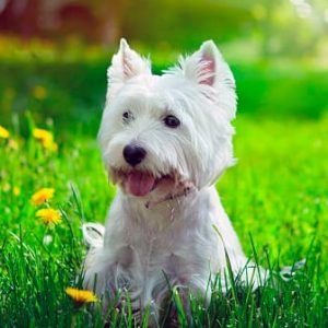 West Highland White Terrier (Terrier blanco)