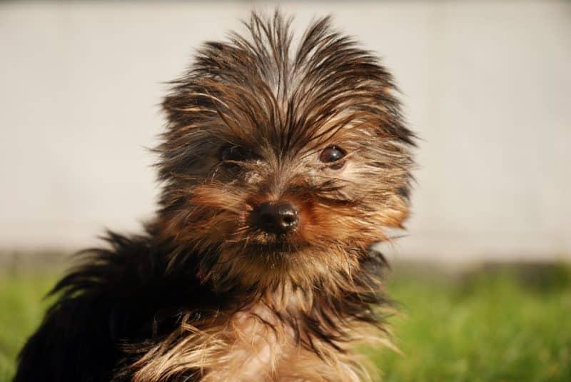 yorkshire terrier con el manto humedo