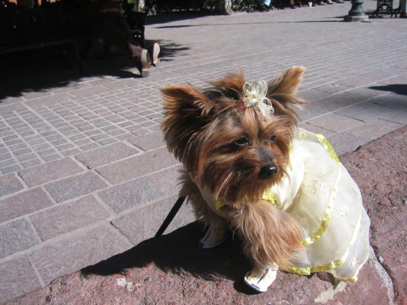 yorkshire terrier con vestido rosa