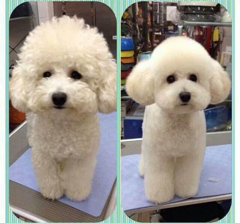 como cuidar el pelo del Caniche Toy