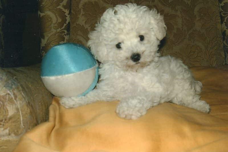 Todo Sobre El Caniche Toy Poodle Toy Tipos