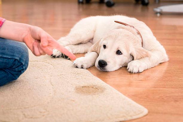 problemas frecuentes para orinar en perros