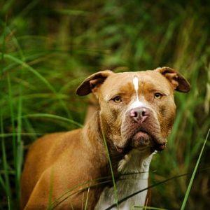 Razas de perros pitbull