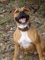 american staffordshire terrier razas de perros pitbull