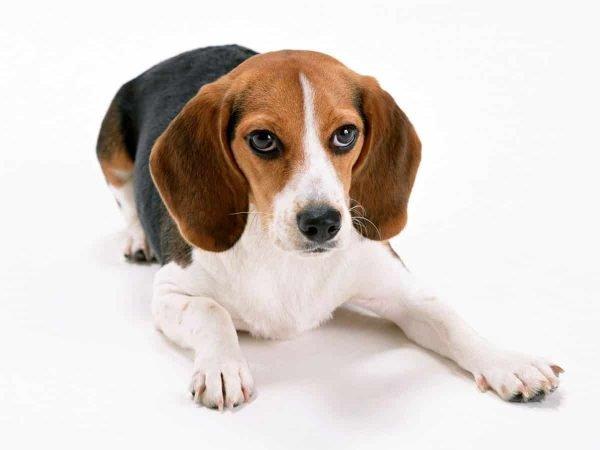 beagle razas de perros pequeños de pelo corto