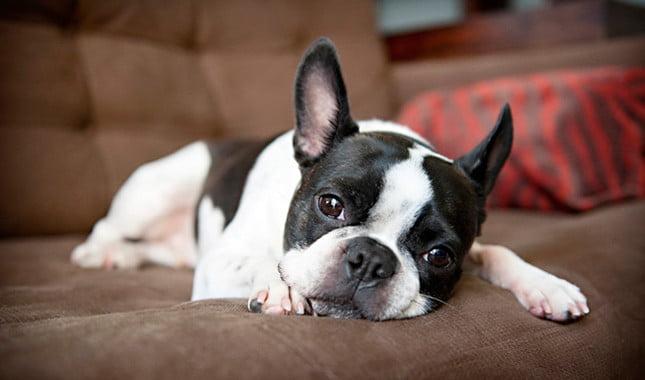boston terrier razas de perros pequeños de pelo corto