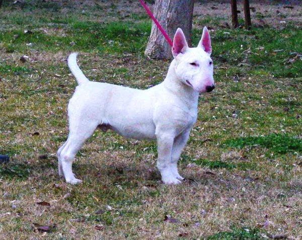bull terrier miniatura razas de perros pequenos de pelo corto