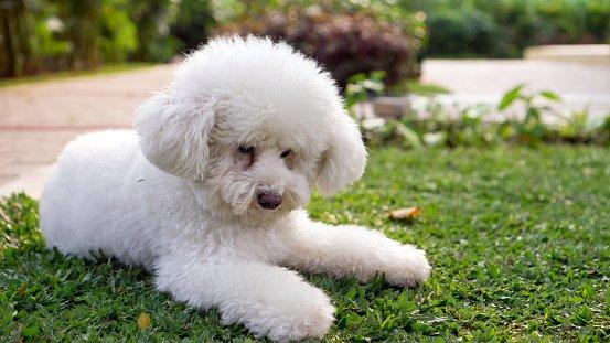 caniche o poodle razas de perros pequeños para niños