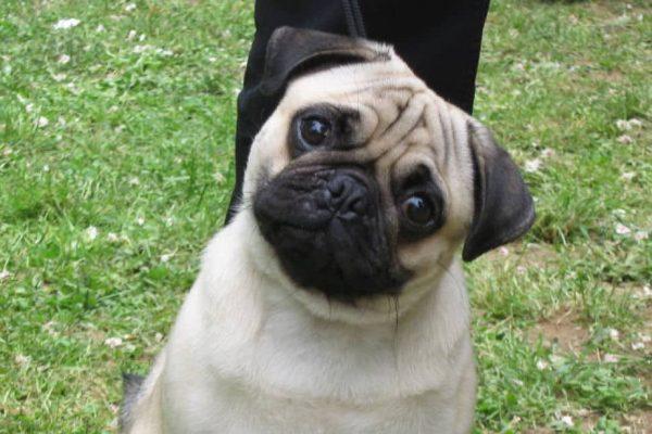 carlino pug razas de perros pequeños de pelo corto
