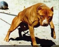 chamucos razas de perros pitbull