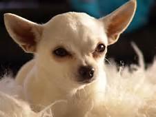 chihuahua razas de perros pequeños de pelo corto