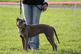 colby razas de perros pitbull