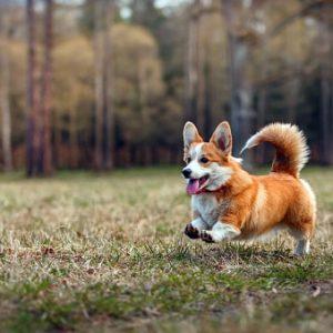 Razas De Perros Pequeños Listado Completo Comparativa
