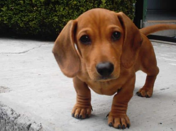 dachshund perro salchicha razas de perros pequenos de pelo corto