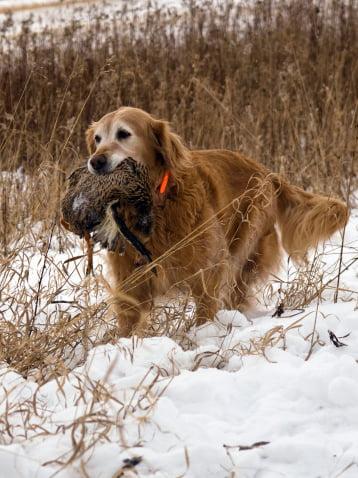 golden retriever razas de perros de caza