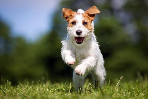 jack russell terrier razas de perros pequeños precios
