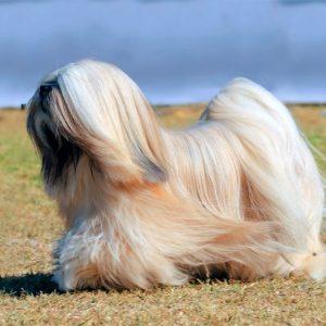 lhasa apso razas de perros pequenos de pelo largo