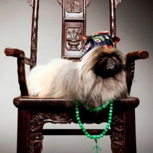 pekines razas de perros pequeños chinos