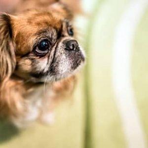 Razas de perros peque os - Perros para tener en casa ...