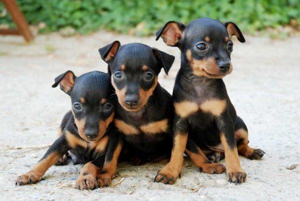 pinscher miniatura razas de perros pequeños de pelo corto