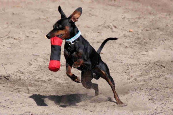 pinscher razas de perros pequeños que no crecen