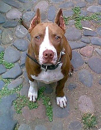 pitbull razas de perros peligrosos